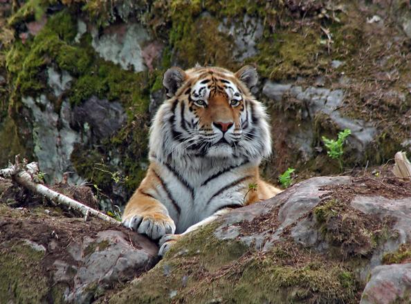 tiger-1250311